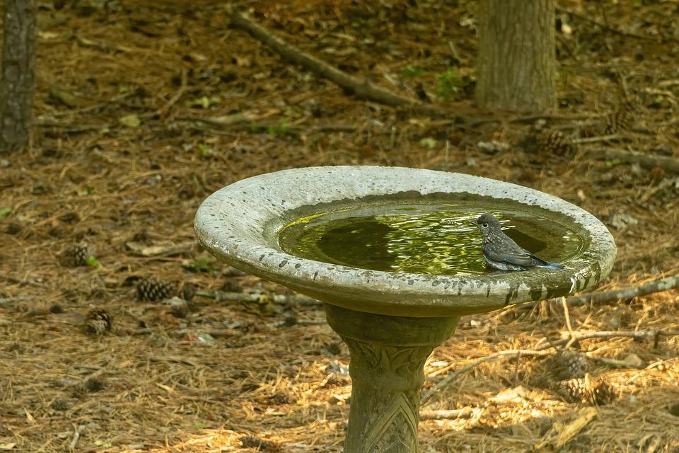 Fledgling Bluebird, Juvenile Bluebird, Bluebird