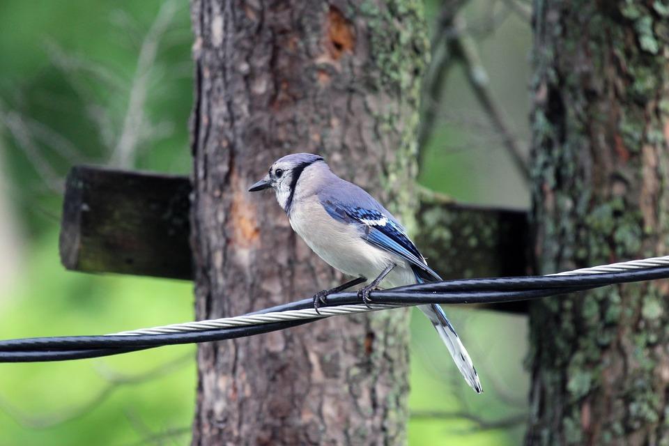 Bluejay, Bird, Wildlife, Nature, Bird Watching