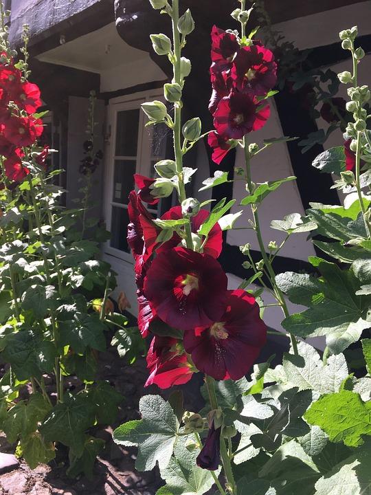 Blossom, Flower, Blüten, Blume, Pflanze, Stockrose