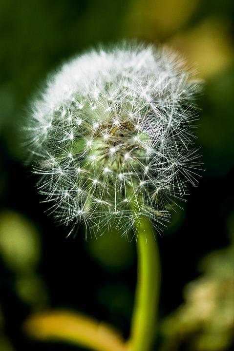 Dandelion, Impression, Blur, Flower, Nature, Plant