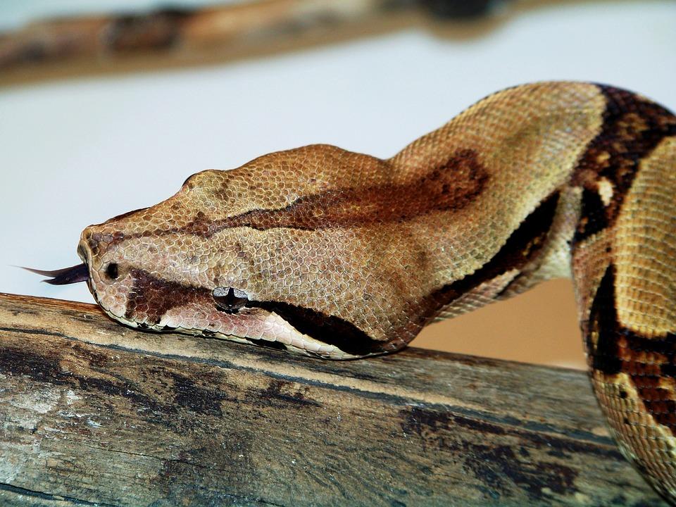 Animals, Zoo, Boa Constrictor, Snake