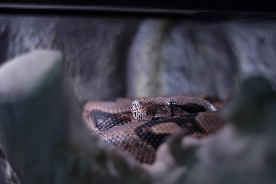 Snake, Boa, Brown