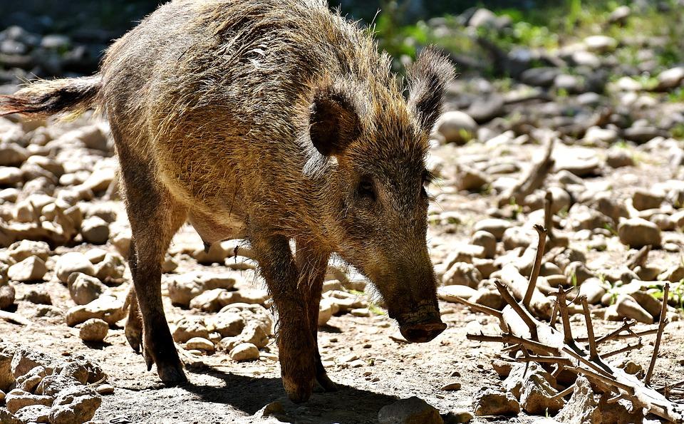 Boar, Animal, Wild Animal, Nature, Sow, Bristles