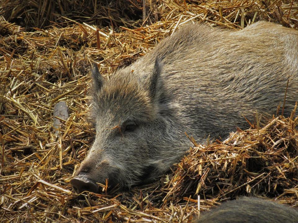 Boar, Pig, Straw, Lying, Launchy, Sleeping, Sow, Fur