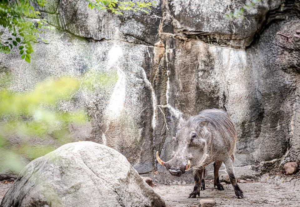 Wild Boar, Zoo, Wild, Forest, Boar
