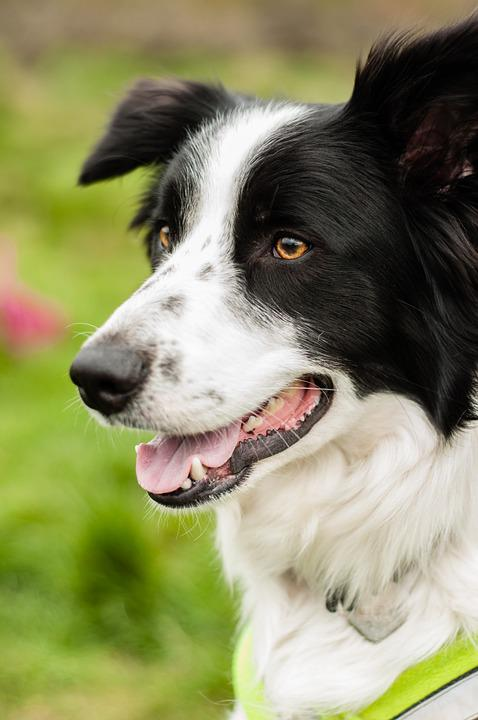 Dog, Pet, Happy, Adorable, Outdoors, Boarder Collie