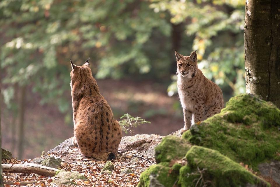 Bobcat, Wildcat, Animal, Predator, Nature