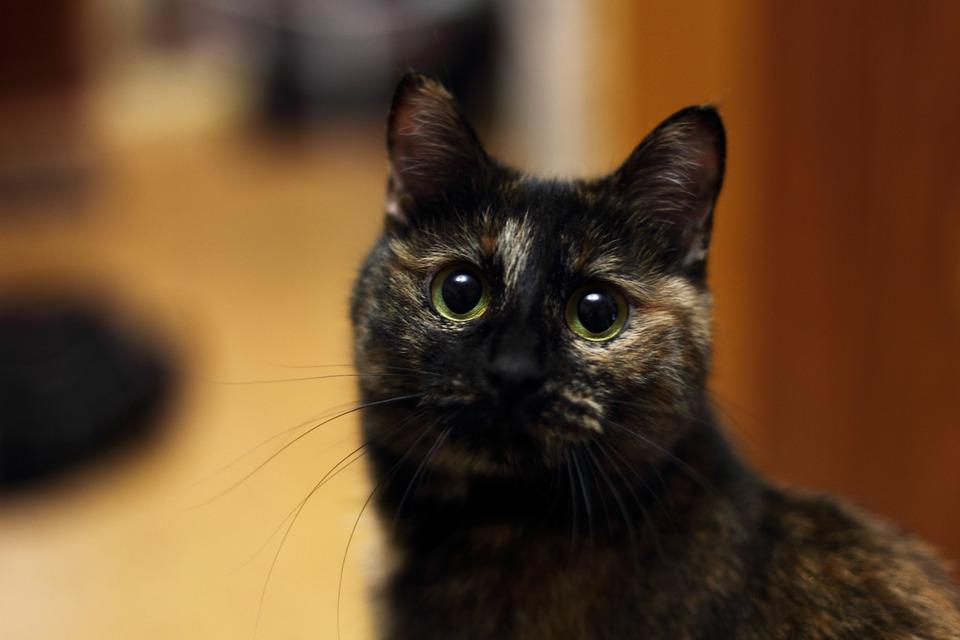 Cat, Bobtail