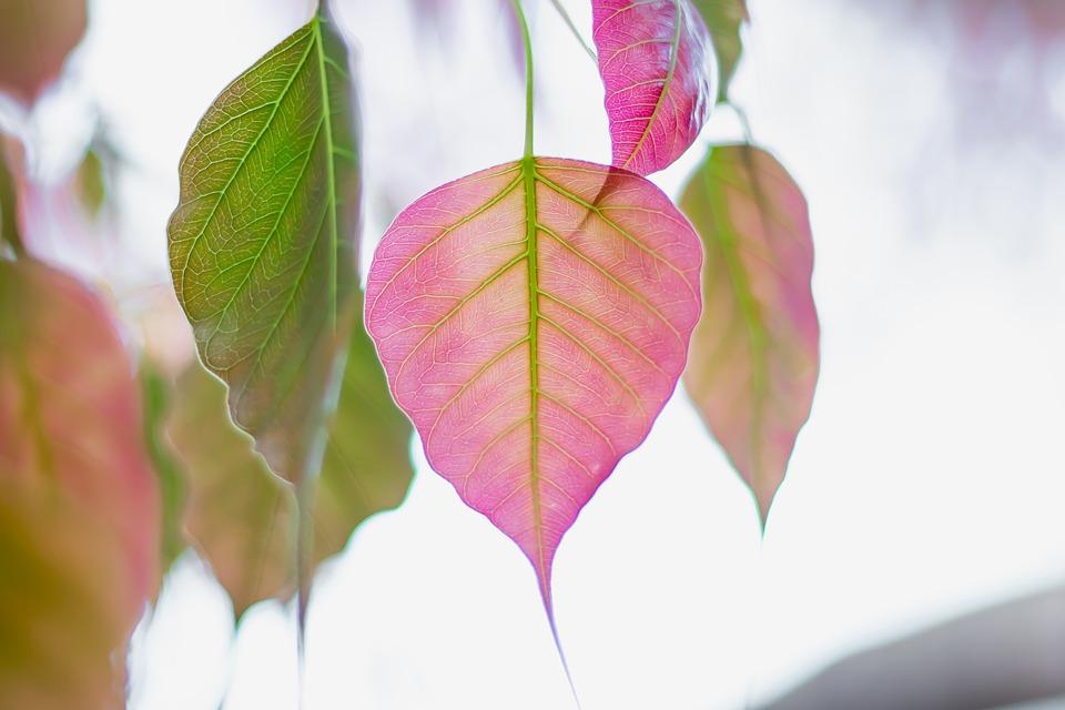 Bo Leaf, Bo Tree, Leaves, Leaf, Bodhi, Bopath