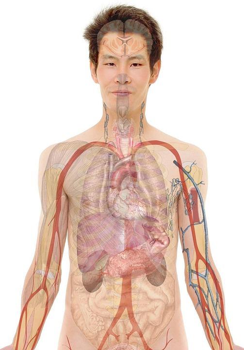 Anatomy, Man, Human, Body, Skin, Organs, Schema