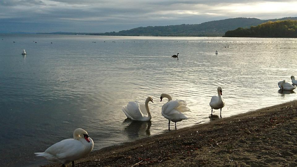 Bird, Body Of Water, Lake, Nature, Swan, Yvonand, Water