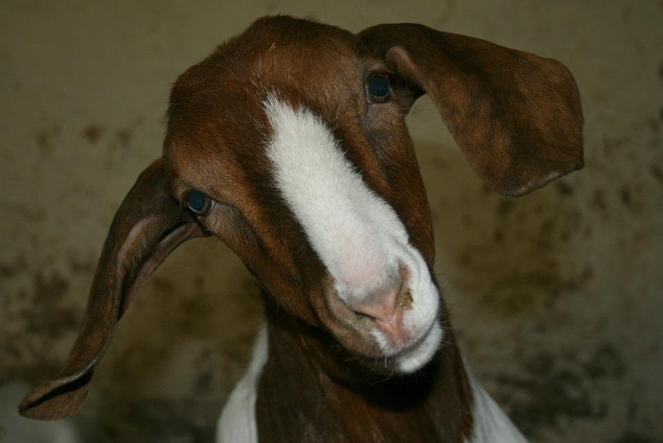 Boer Goat, Goat, Public Record, Farm, Kid