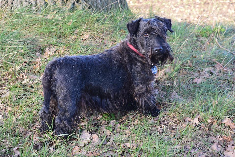 Cesky Terrier, Czech Terrier, Bohemian Terrier