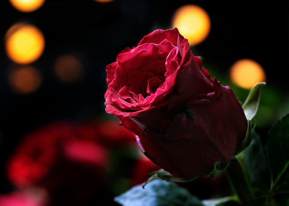 Rose, Bokeh, Red Rose, Nature, Floribunda