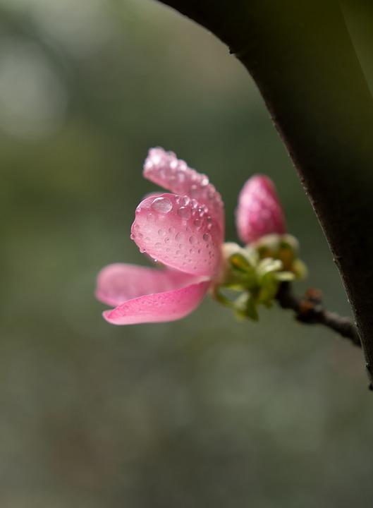 Flower, Backlight, Pink, Water-drop, Bokeh, Blue