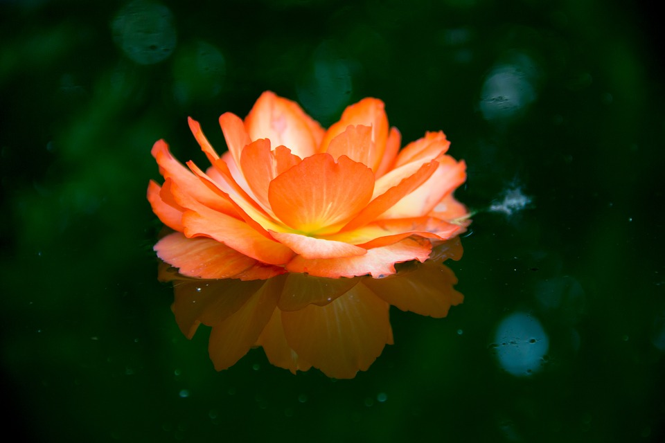 Flower, Water, Mirror, Bokeh, Lens, Macro, Nature