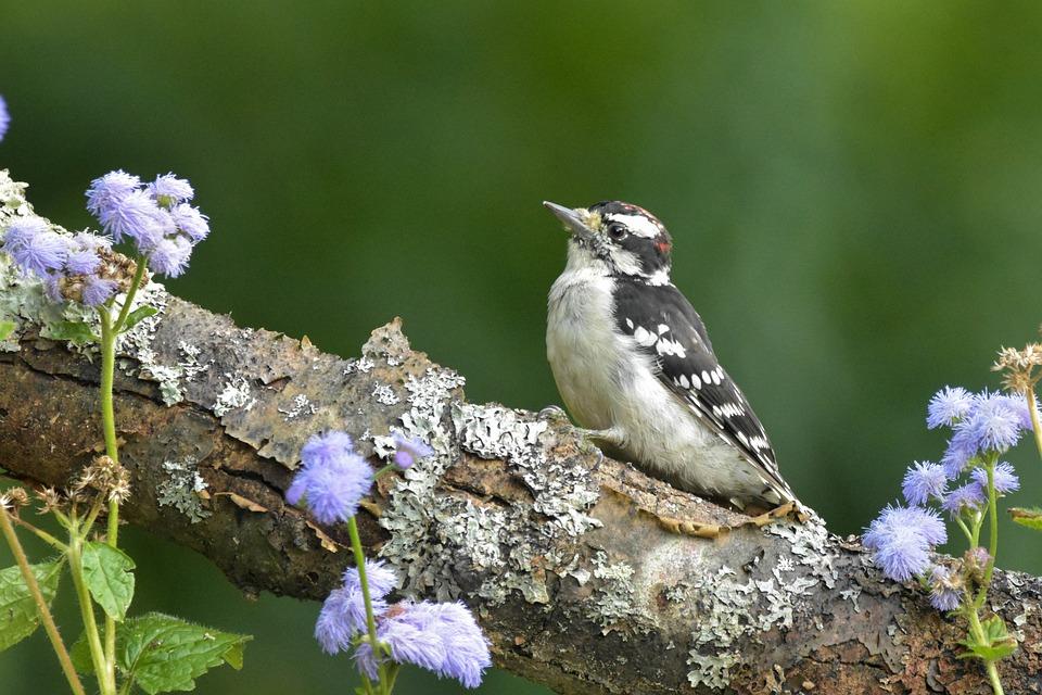 Woodpecker, Downy Woodpecker, Bokeh, Bird