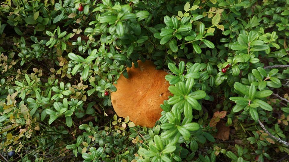 Mushroom, Boletus, Natural Nourishment