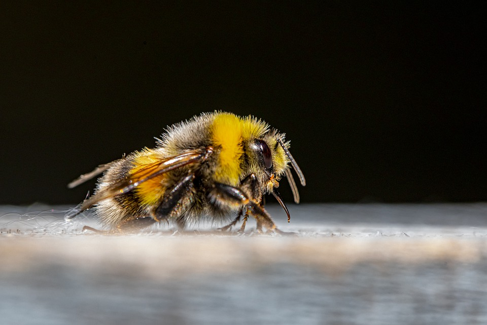 Bumble Bee, Bee, Bombus, Insect, Wings, Nature