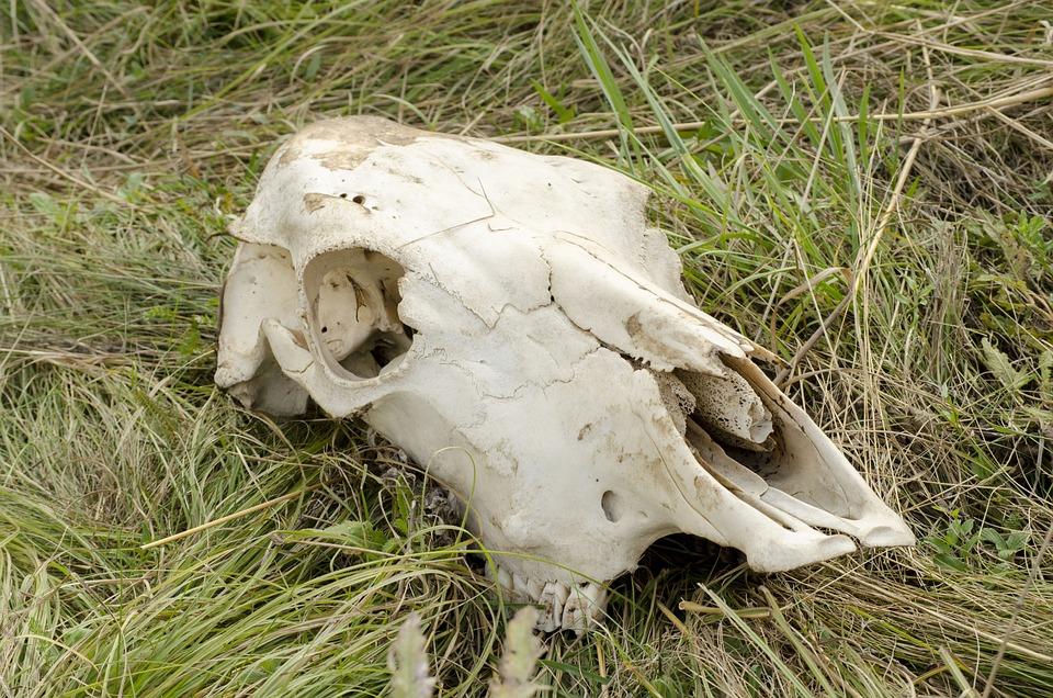 Skull, Cow, Head, Dead Animal, Bone