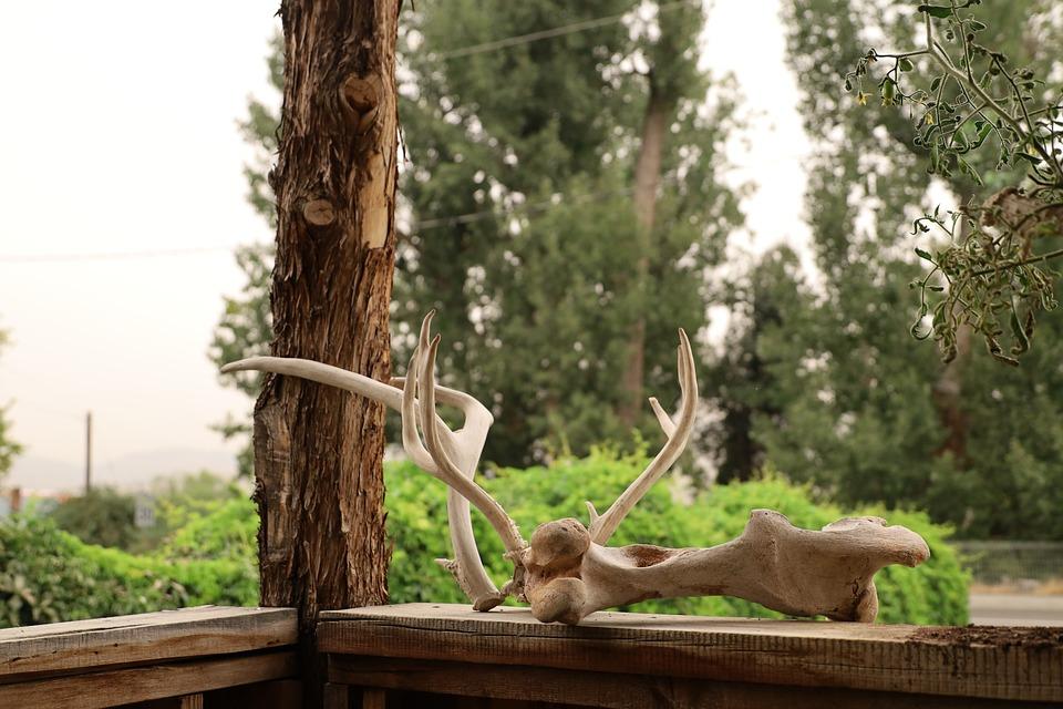 Antler, Deer Antler, Bones, Skull
