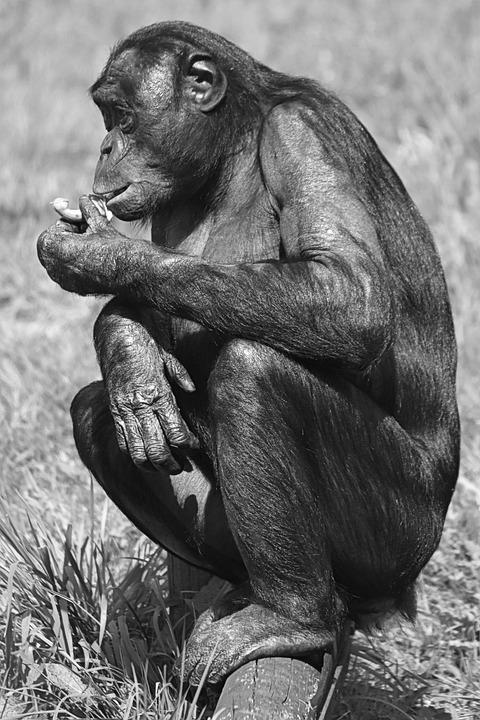 Monkey, Bonobo, Great Ape, Animal, Mammal
