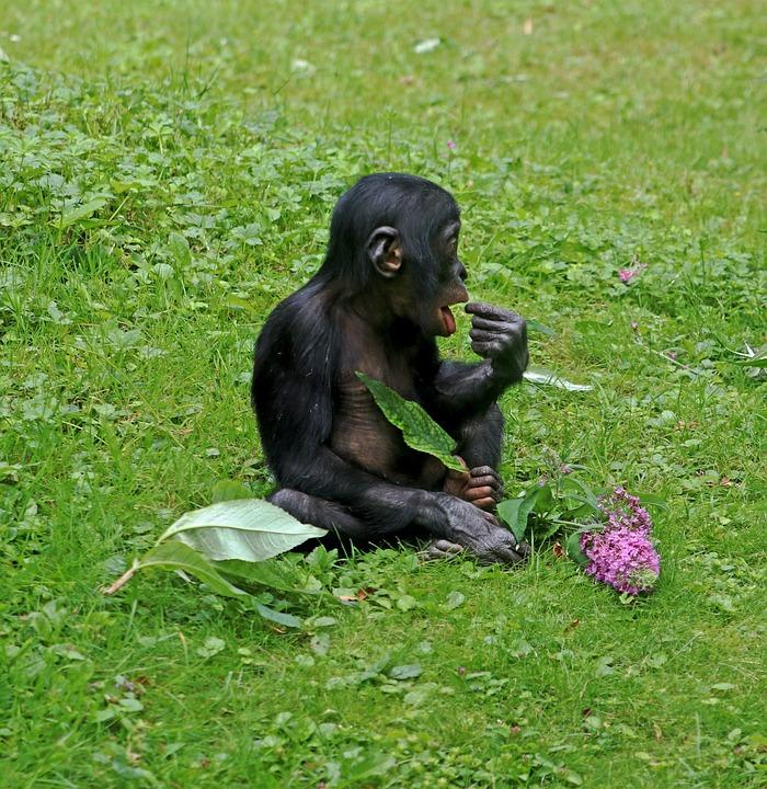 Bonobos, Ape, Primates, Animal, Wildlife Photography