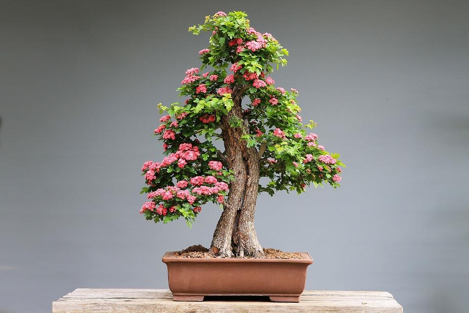 Bonsai, Díszgalagonya, Pink Flowers, Wood, Plant, Art