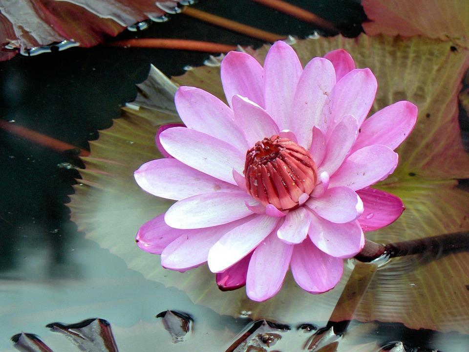 Lotus, Serenity, Booed, Pond