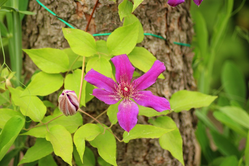 Clematis, Flowering, Purple Flower, Creeper, Boost