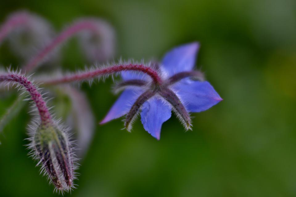 Borage, Cucumber Herb, Flower, Blue, Button, Flora