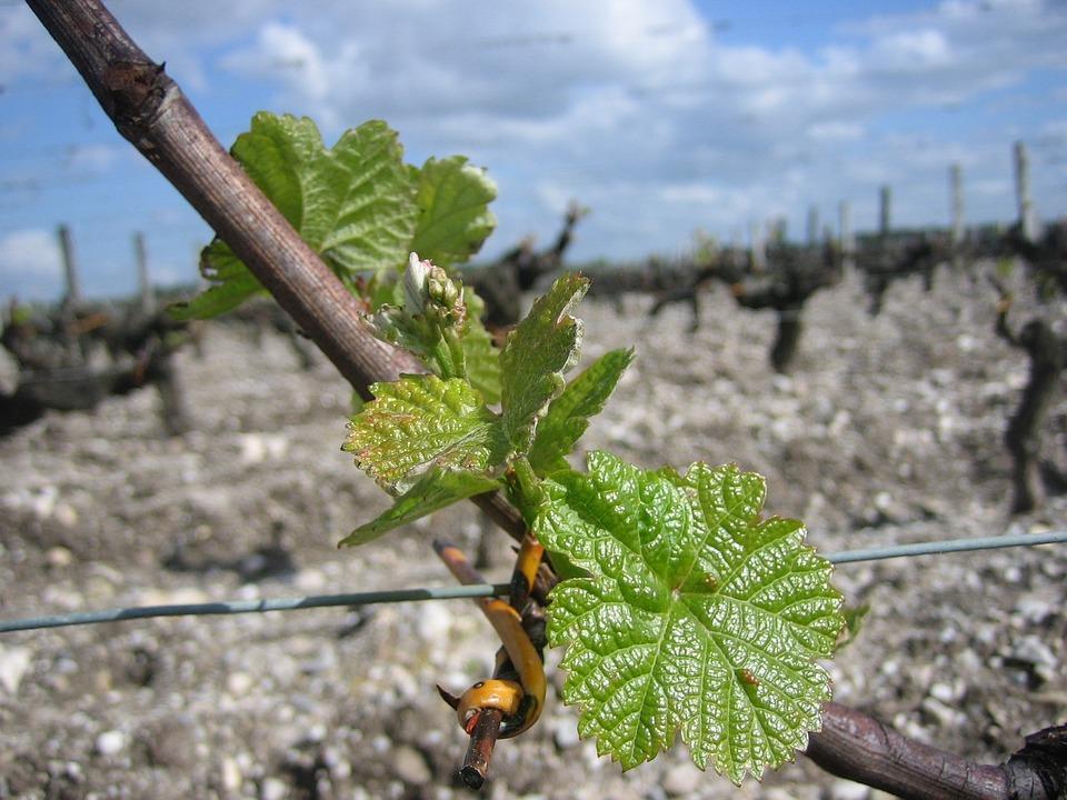 Vines, Foliation, Bordeaux, Leaves
