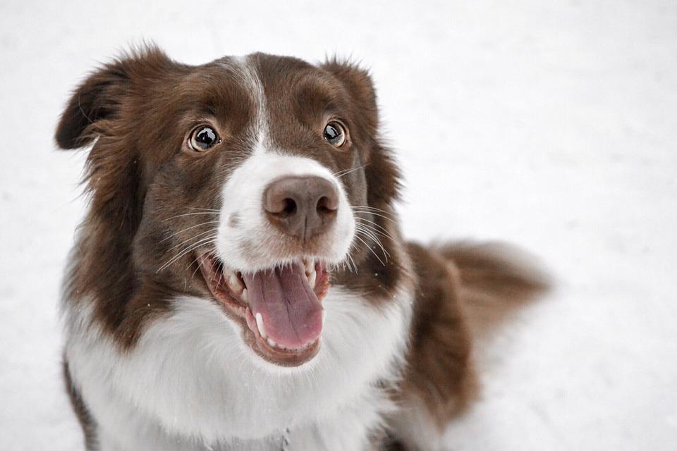 Border Collie, Winter, Photo, Dog, Snow, Animal