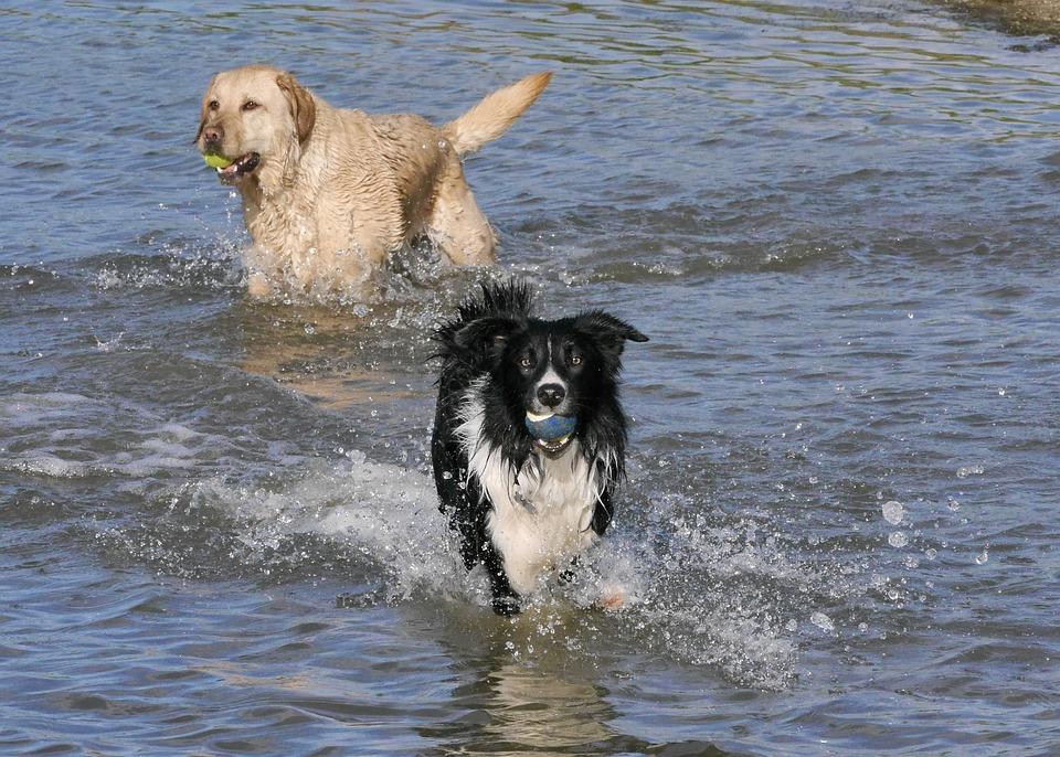 free photo border collie anumals dogs golden retriever max pixel