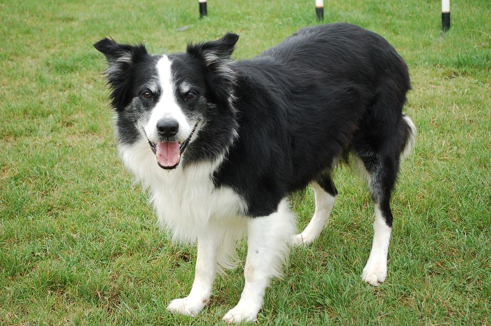 Dog, Collie, Border Collie