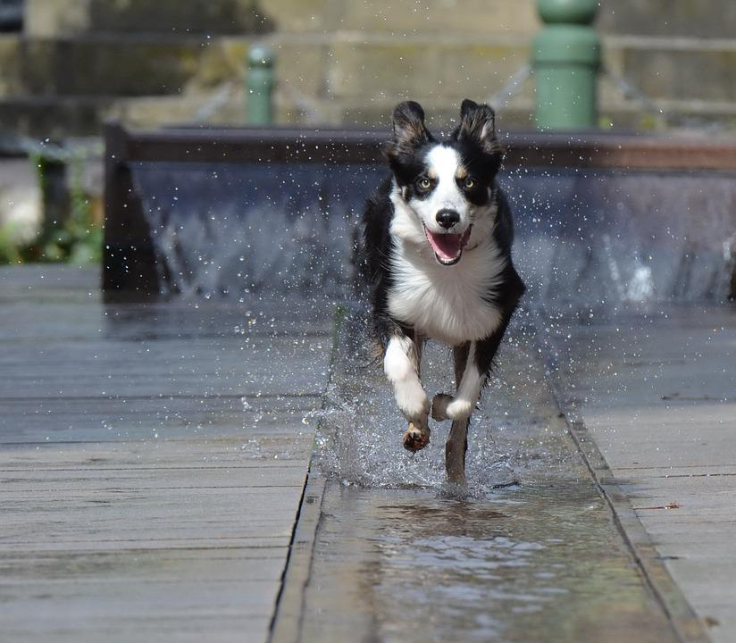 Border Collie, Fountain City, Running Dog, Old Town