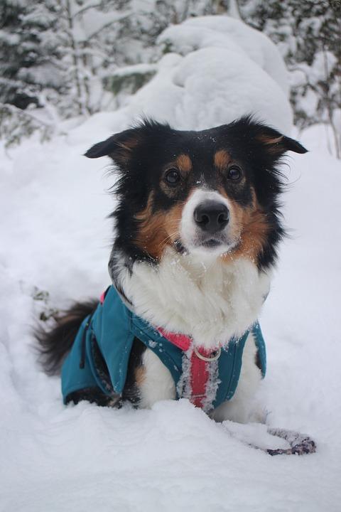 Winter, Snow, Cold, Dog, Border Collie, Shepherd Dog