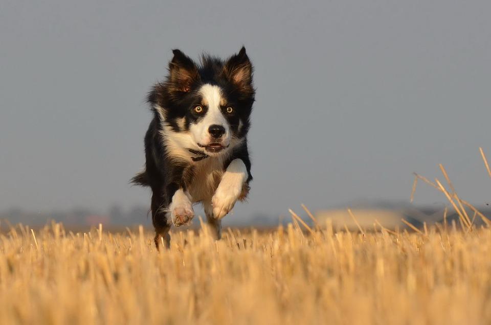 Border Collie, Running Dog, Field, Summer