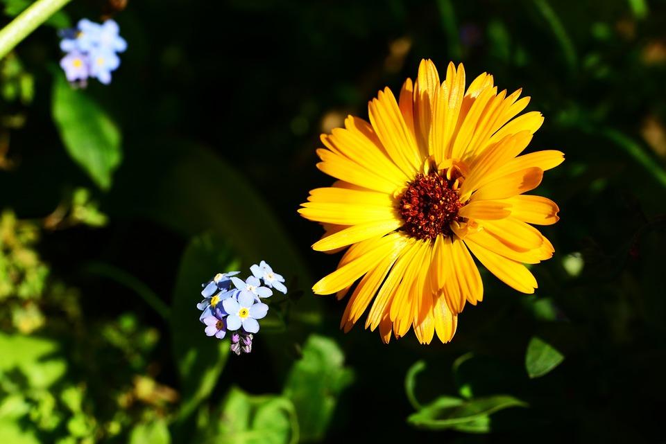 Marigold, Calendula, Pot Marigold, Annual, Border Plant