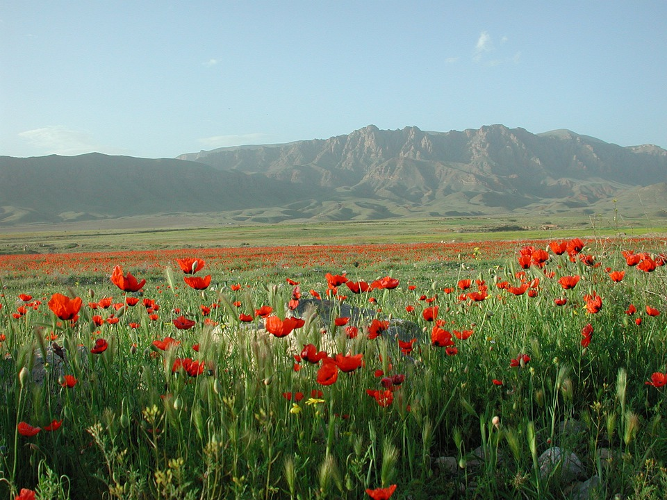 Poppy, Mountains, Ararat, Fields, Border, Turkey