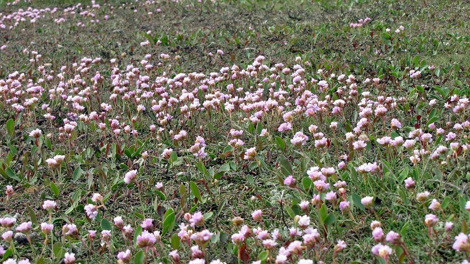 Watt Flowers, Flowers, Wadden Sea, Pink, Borkum