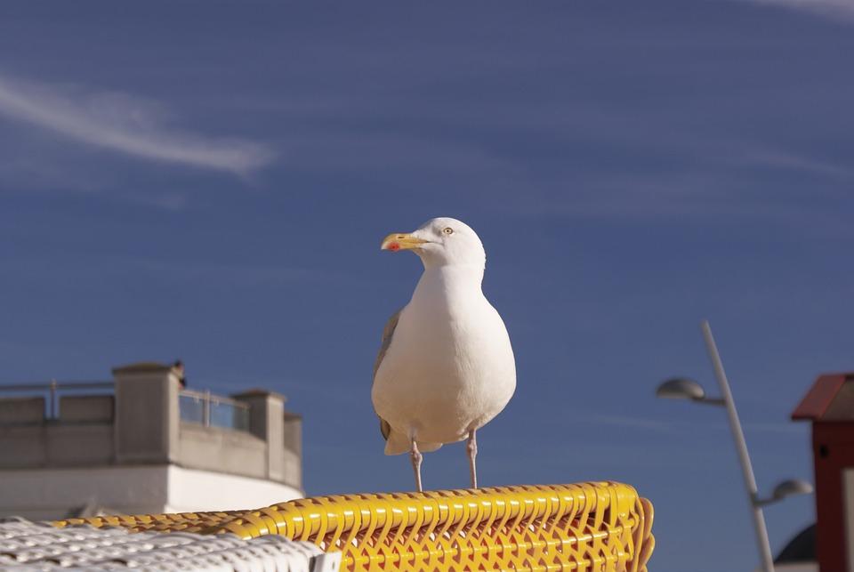 Seagull, North Sea, Borkum