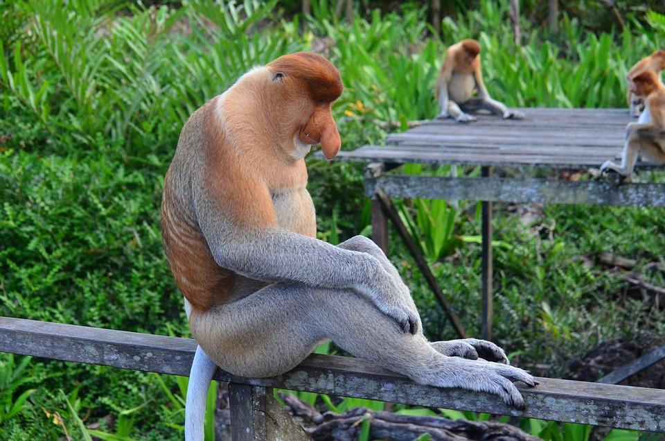 Proboscis Monkey, Proboscis, Borneo
