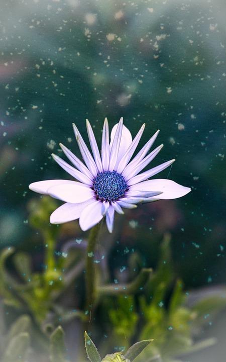 Bornholm Marguerite, Flower, Blossom, Bloom