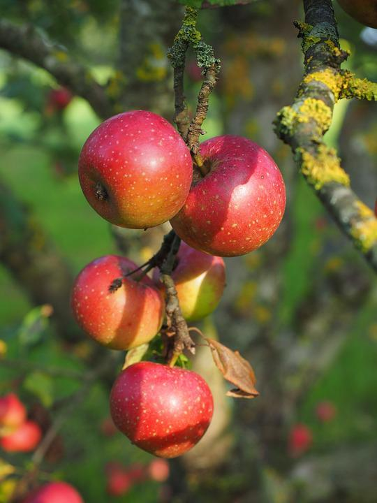 Apple, Red Boskoop, Boskoop, Boskop, Rennet
