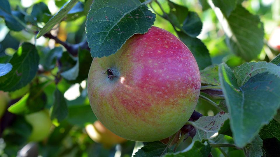 Apple, Fruit, Boskop, Delicious, Fruits, Apple Tree