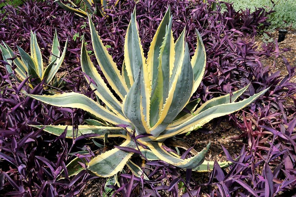 Cactus Plants, Botanical Garden, Houston Texas