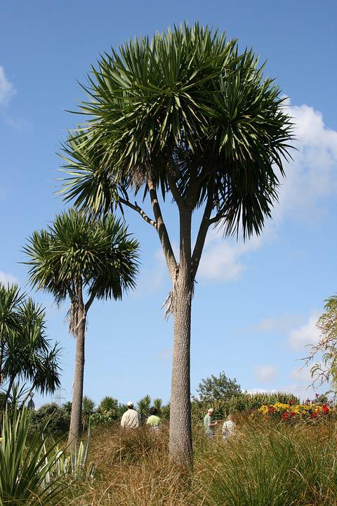 Palm Trees, Cordyline Australis, Botanical Garden