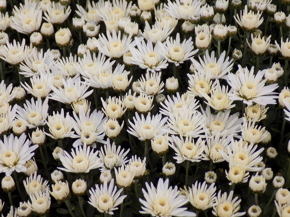 Free photo botanical garden flowers chrysanthemum white flowers chrysanthemum flowers botanical garden white flowers mightylinksfo