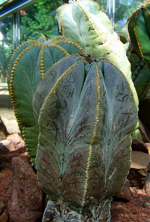 Mexican Cactus, Botanical Garden, Pecs